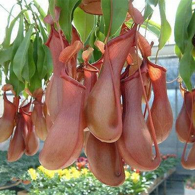 Freshly Picked mosquito Nepenthes seeds potted flower Carnivorous Plants