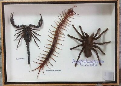 Giant Centipede Scorpion Spider Framed Taxidermy Insect Bug Real Rare Collection