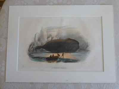 Early Engraving of WHALE (1844) Rare subject Mounted tinted engraving a superb u