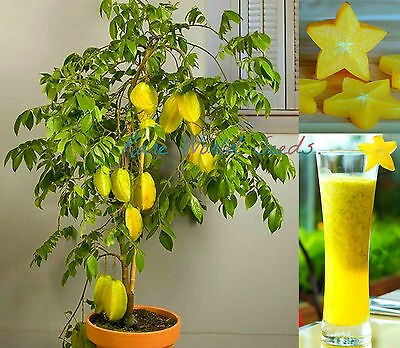 Star Fruit 'Dwarf Hawaiian' (Averrhoa carambola) MINI tree plant seeds. RARE!