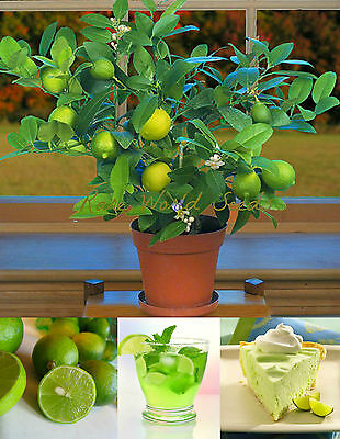 DWARF Key Lime (Citrus aurantifolia) indoor outdoor miniature tree! SEEDS.