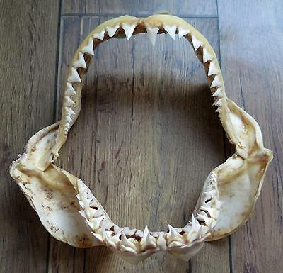 """9.0"""" Nature Modern Great white shark jaws taxidermy!"""