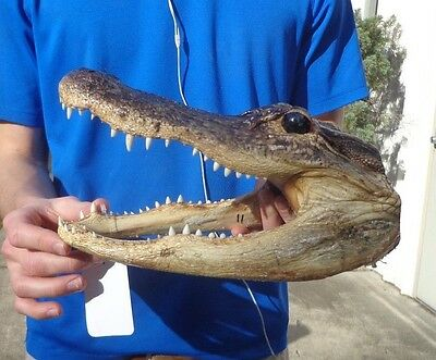 11 inch Alligator head from a 7 foot gator real taxidermy reptile # 23873