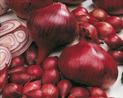 Pack 50 Red Onion Set / Sets 'Comred' Vegetable Bulbs Prins