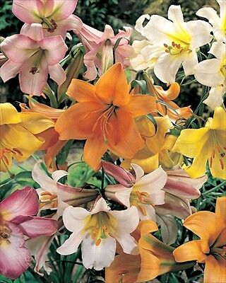Pack x4 Trumpet Lily Mixed WPC Prins Summer Bulbs & Tubers
