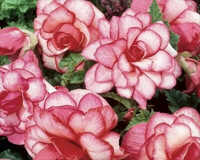 Pack x3 Special Begonia 'Bouton De Rose' WPC Prins Bulbs/Tubers
