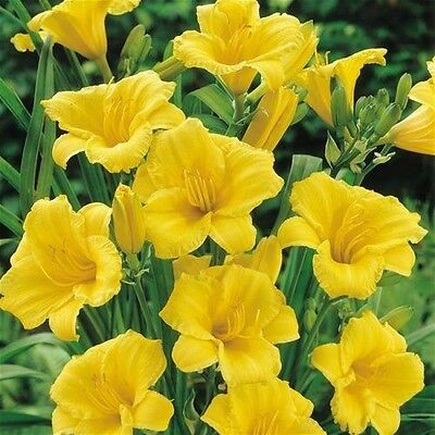 Pack x1 Hemerocallis (Day Lily) Stella D'or WPC Prins Quality Bulb/Tuber
