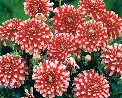 Pack x1 Decorative Dahlia 'Musette' WPC Prins Quality Bulb/Tuber