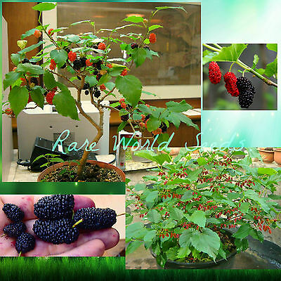 Dwarf Mulberry tree 'Dwarf Everbearing' (Morus nigra) indoor or Outdoor! SEEDS.