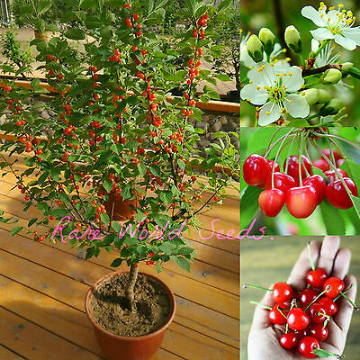 NEW! DWARF Cherry tree 'Romeo' HARDY INTO ZONE 2!! in or outdoor! SEEDS.