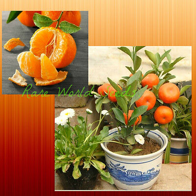 WINDOWSILL Citrus tree! Mandarin tree 'Satsuma' MINIATURE FOR INDOOR! seeds.