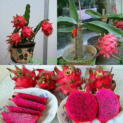 "SUPER DWARF! Pitaya Pitahaya FLOWERS AT 3""!! red flesh Dragon Fruit SEEDS."