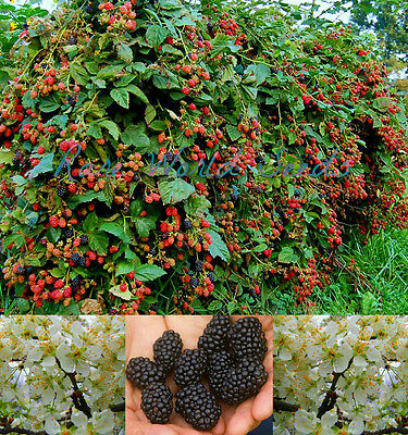 Amazing HUGE producer! 'Natchez Hybrid' THORNLESS Blackberry 5 gal/plant! SEEDS.