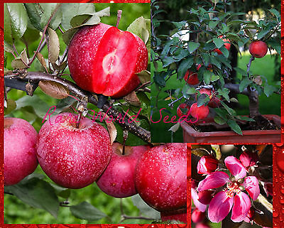 SUPER DWARF RED APPLE TREE! 'Baya Marisa' Self-fertile! VERY RARE SEEDS.