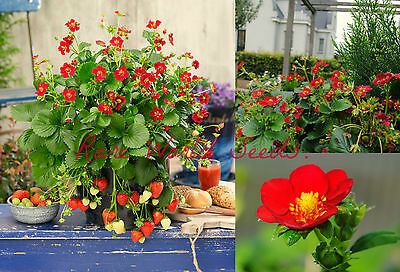 SENSATIONAL! red flower! Strawberry 'Ruby Ann' Everbearing F1 hybrid RARE SEEDS.