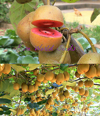 VERY RARE: PINK kiwi fruit! HUGE PRODUCER! 'Pink Lady' vine seeds. SELF-FERTILE!