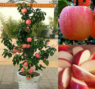 Miniature ! dwarf 'FUJI' apple tree indoor or outdoor! sweet fruits SEEDS.