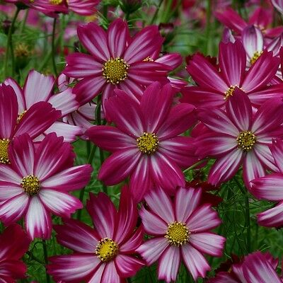 Pack Flower Seeds Cosmos Cosimo Red-White Kings Quality Garden Seed