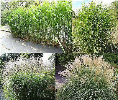 BIG Miscanthus ca.100 Seeds - Silver spring - Miscanthus chinensis winter hardy