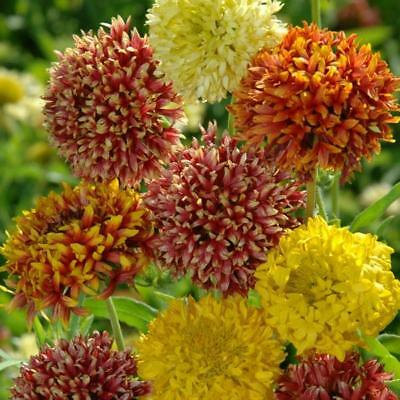 Pack Flower Seed Gaillardia Pulchella 'Kings Double Mixed' Quality Seeds