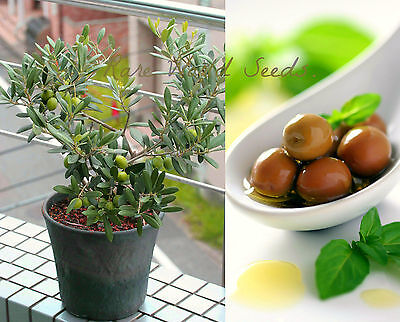 "UNIQUE!! Windowsill Olive Tree! 'Arbequina' Grows to 24"" SELF-FERTILE! seeds."