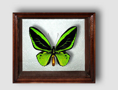 Real Insect: Ornithoptera priamus poseidon in frame made of expensive wood !