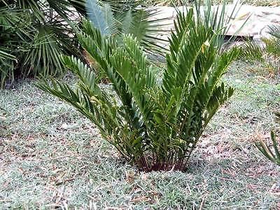 20 COONTIE PALM SEEDS - Zamia integrifolia