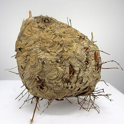 """Large Paper Wasp Nest Taxidermy Educational Man Cave Missouri 15"""" x 34"""" Around"""