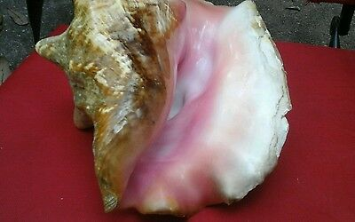 "Large Seashell - Queen Conch 10"" large"