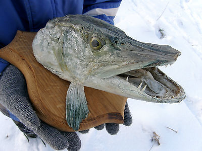 Real Pike Head Mount Fish Taxidermy Trophy