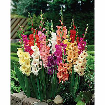 40 Gladioli Large Flowering Mixed Colours Summer Garden Perennial  Flower Bulbs