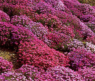 AUBRIETA ROCK CRESS CASCADE MIX Aubrieta Hybrida Superbissima - 50 Seeds