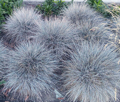 BLUE FESCUE Festuca Glauca - 1,500 Bulk Seeds