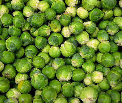 BRUSSEL SPROUTS LONG ISLAND Brassica Oleracea - 1,000 Bulk Seeds