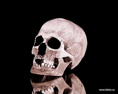 Human female skull replica - REAL SIZE, BRAND NEW (No.1C)