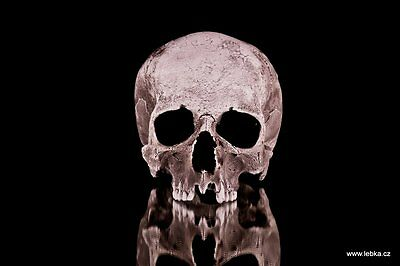 Human male skull replica - REAL SIZE, BRAND NEW (No.3)
