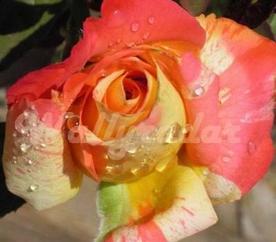Tropical Sunset Rose 10 seeds *UNIQUE*EXOTIC*RARE*HEIRLOOM  Aussie Seller