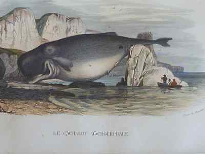 Early Engraving of WHALE (1844) Rare subject Mounted tinted engraving a superb g