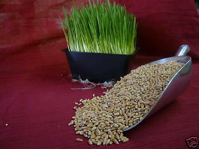 2 lb CANADIAN ORGANIC HARD RED WINTER WHEAT GRASS SEEDS (SPROUTING) WHEATGRASS