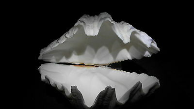 VERY RARE XL RIESENMUSCHEL HIPPOPUS HIPPOPUS(BAER'S PAW CLAM )INDO PACIFIC Nr.10