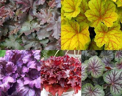 New Pack x6 Heuchera 'Mixed Varieties' Perennial Garden Plug Plants