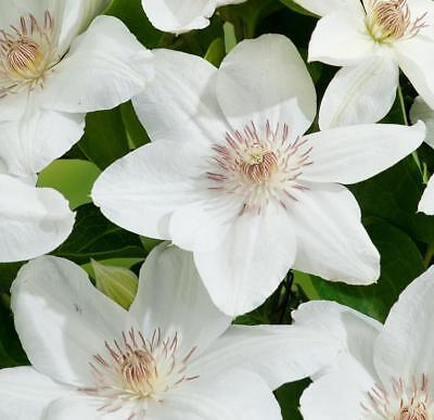 Pack x3 Clematis 'Mrs George Jackmann' Climbing Shrub XXL Supersize Plug Plants