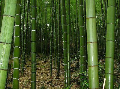25 x MOSO BAMBOO SEEDS - Phyllostachys Pubescens