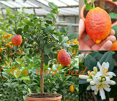 RARE AND BEAUTIFUL! Citrus Red Lemon 'Limone Rosso' GROWS to 3 feet tall! SEEDS.