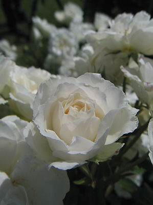 White Symphony Hybrid Tea Rose plant in a 2 litre pot FREE DELIVERY over £20