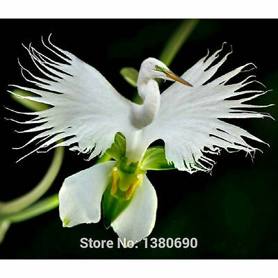 200pcs Japanese Radiata White Egret Orchid Seeds World's Rare Orchid Species