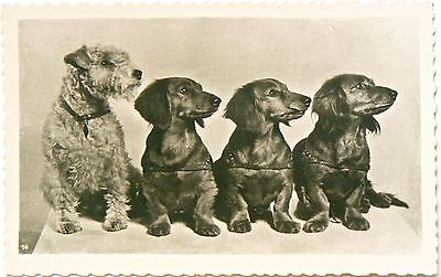 Postcard:dogs.'eyes..............left!!' 3 Dachshunds And A Mate