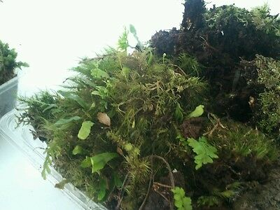 **BONSAI / TERRARIUM MOSS 500gm FRESH TASMANIAN FOREST MOSS***