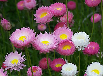 Paper Daisy Everlasting Flowers in Germination Media 60 Seeds - Easy to Grow