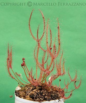 Drosera binata (semi - seeds) no pianta carnivora